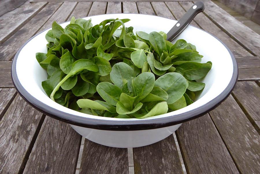 Der frisch geerntete Feldsalat