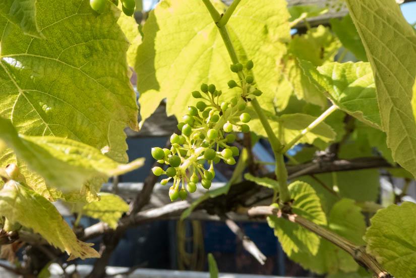 Der Wein hat schon winzige Trauben