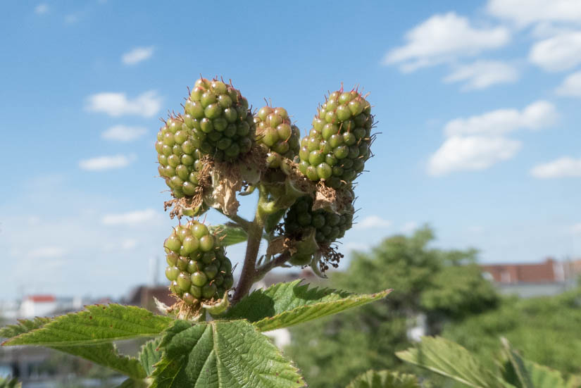 Die Beerenansätze der Brombeere