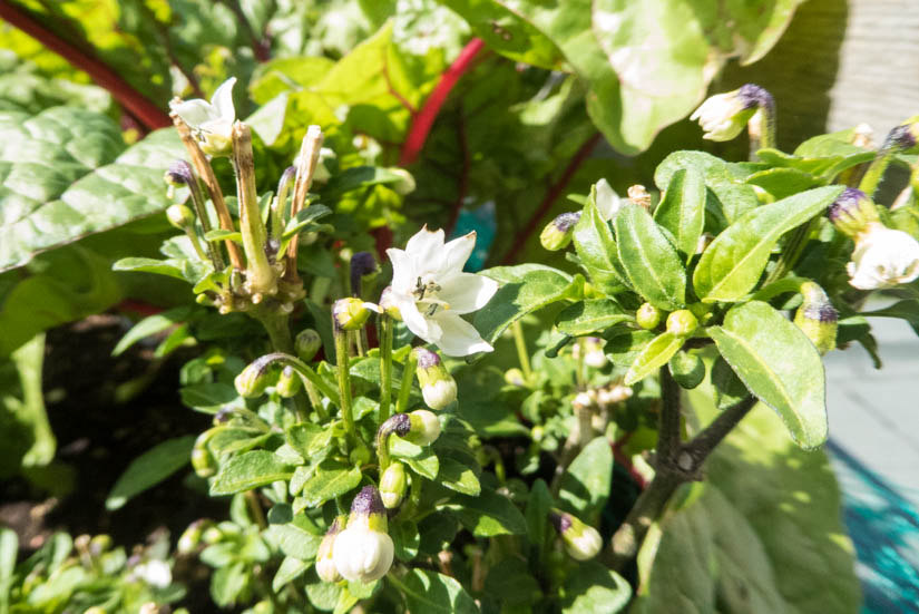 Das Peperonibüschchen