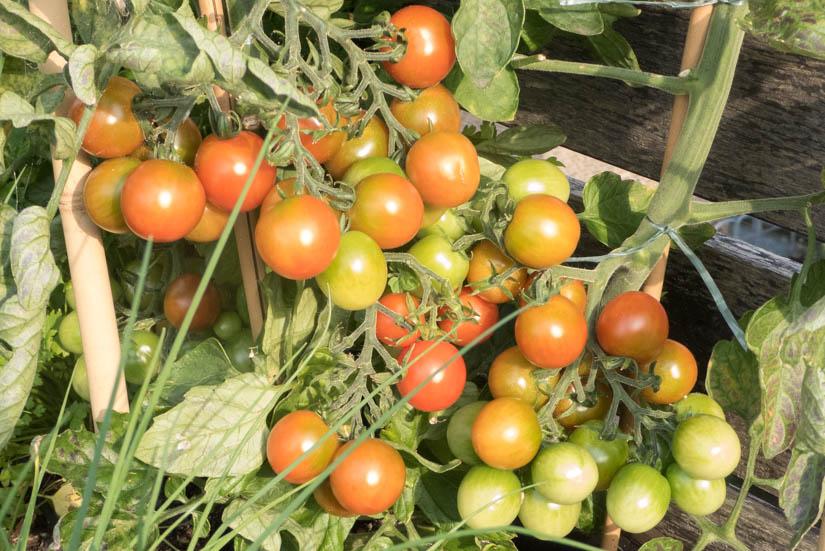 Die ersten Tomaten