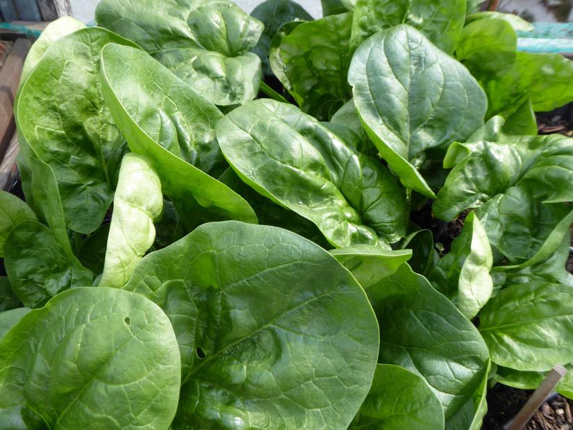 Üppiger Spinat, reif zur Ernte