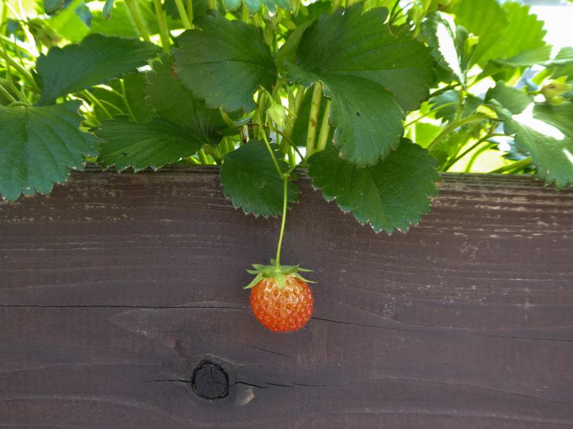 Die erste Erdbeere