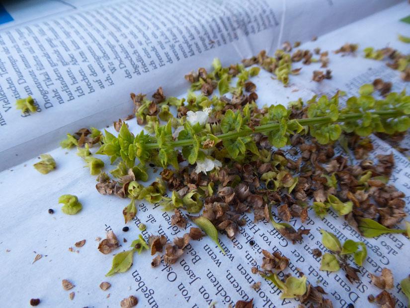 Basilikumblüten und –samen
