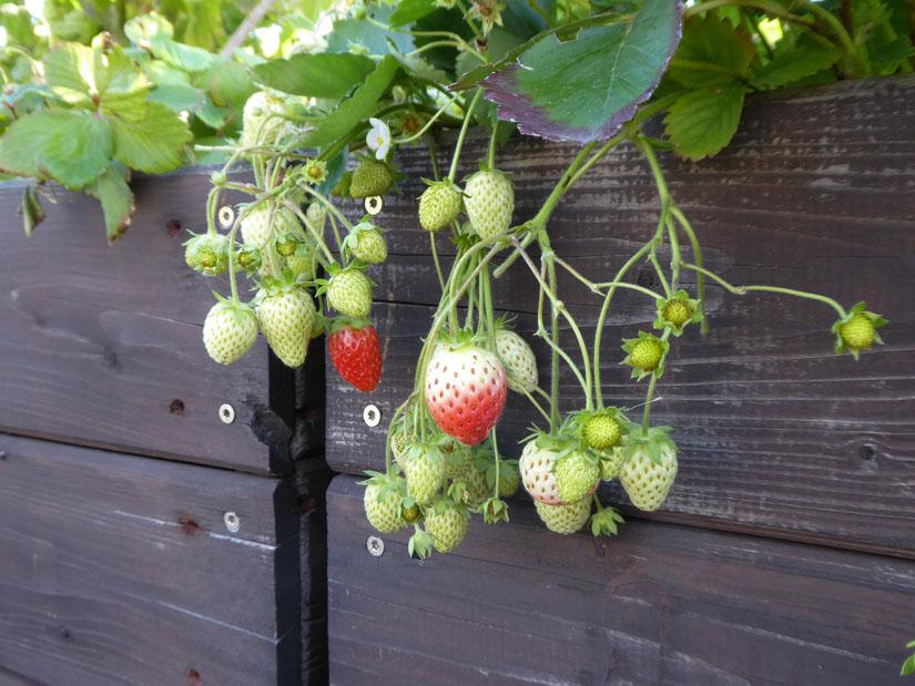 Die spätfruchtenden neuen Erdbeerpflanzen
