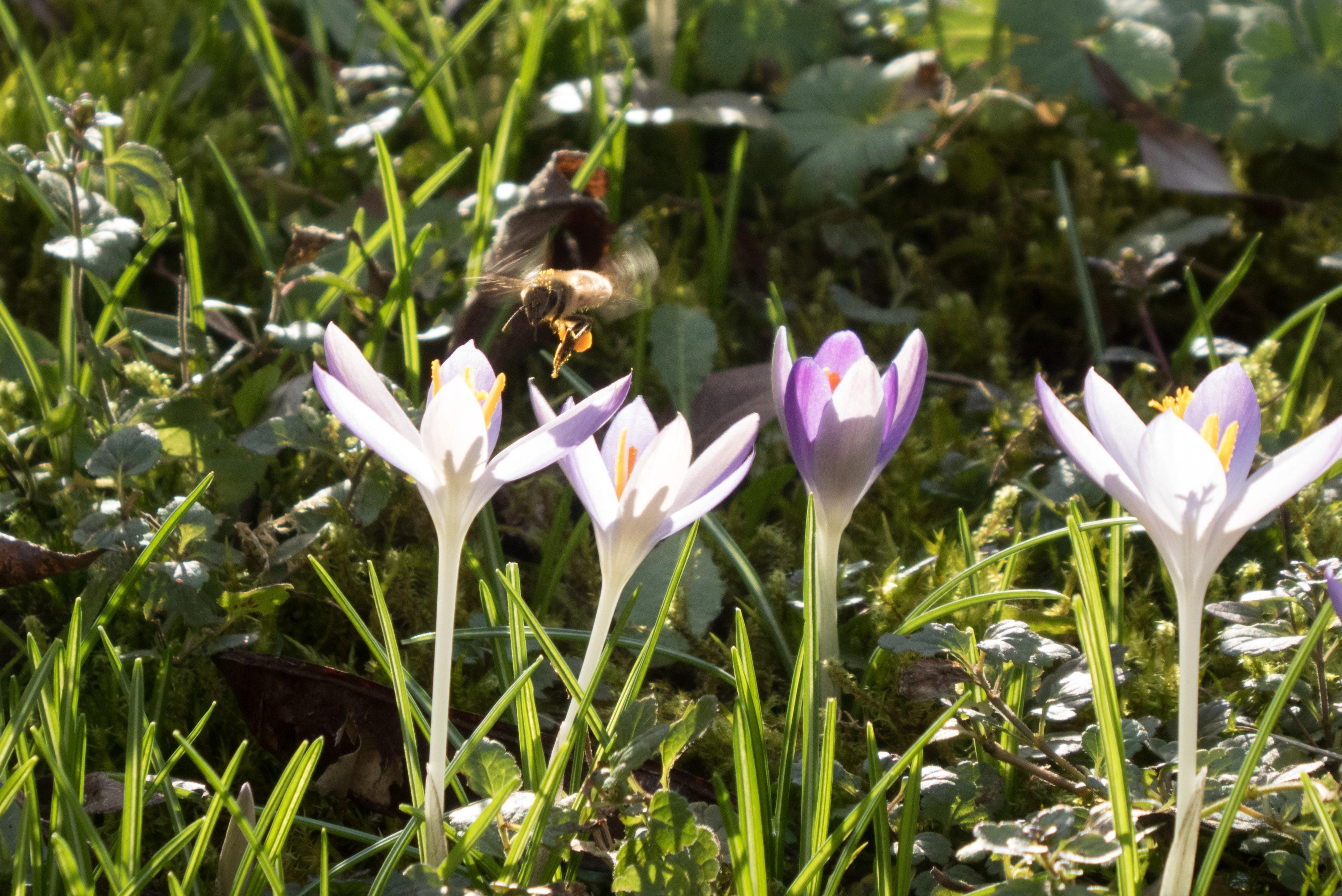 Biene im Anflug